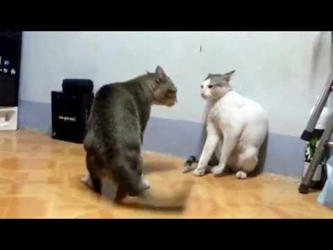 Fuerte pelea de gatas