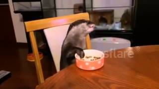 Pet Otter Eats At Table - Well Behaved Otter
