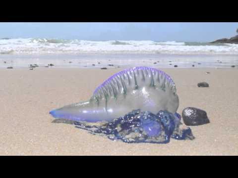 Blue Bottle Jellyfish - Australian Beach | Short Documentary