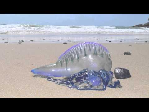 Blue Bottle Jellyfish  Australian Beach  Short Documentary
