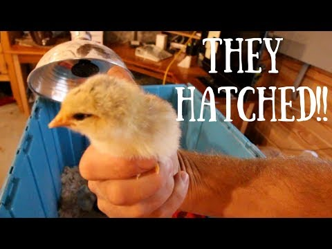 The Rarest Breed of CHiCKS and So much More Modern Steader Update