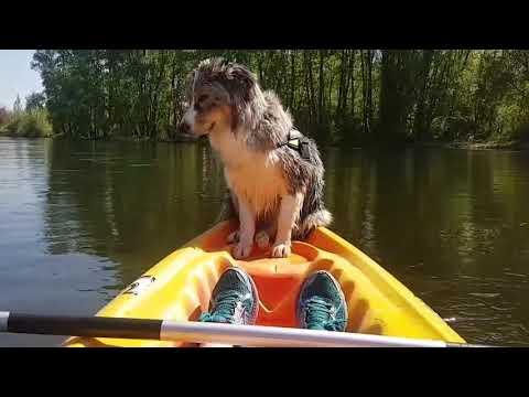 Dog Falls Asleep While Standing on Kayak