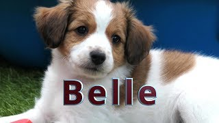Belle, ons  Kooikerhondje