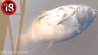 Mrtve ribe na sve strane
