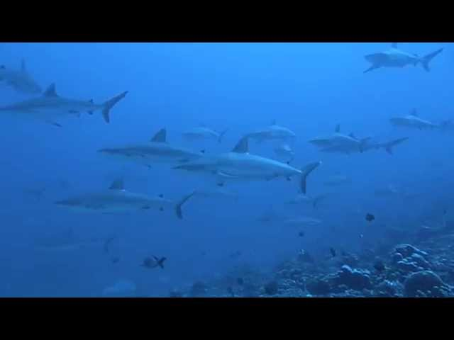 OzDive in French Polynesia - Diving with dozens of sharks in Fakarava (2012)