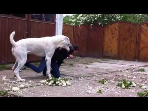 Central Asian Shepherd Dog, 15 month,playing - YouTube