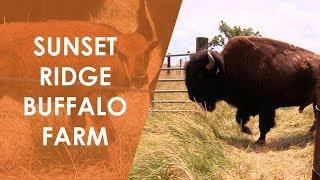 Baixar Sunset Ridge Buffalo Farm   North Carolina Weekend   UNC-TV