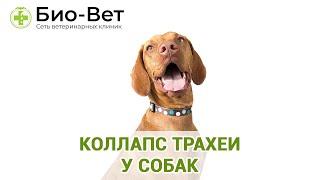 Коллапс трахеи у собак. Ветеринарная клиника Био-Вет.