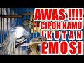 Cipoh Sirtu Ngamuk Ngobra Teriak Menjerit Jerit  Mp3 - Mp4 Download