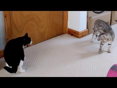 Bengal Kitten Annoys Older Cat   4K