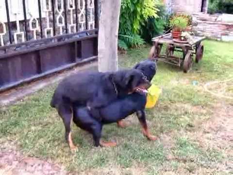 Cuccioli Di Rottweiler Appena Nati