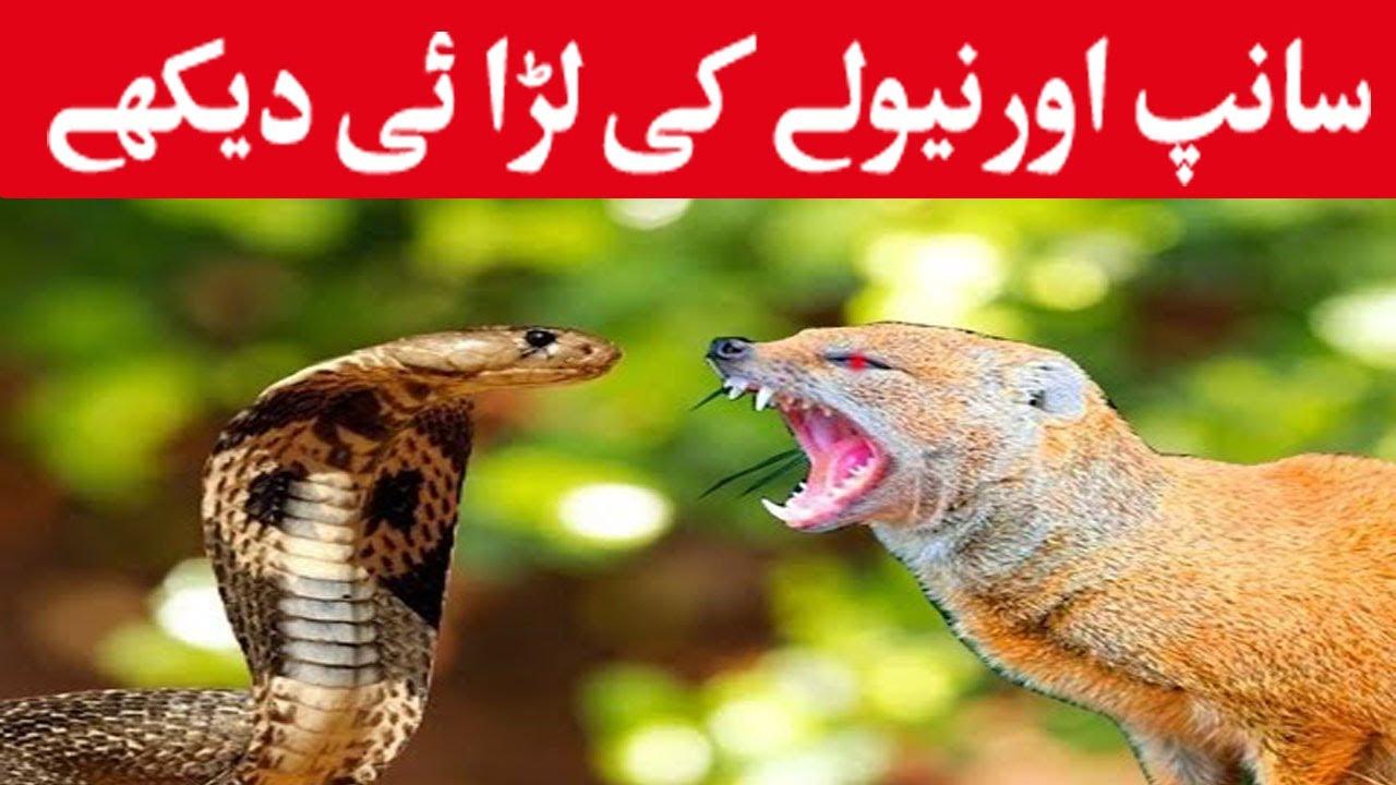Saanp Aur Nevla Ki Fight 2017 | Snake And Mongoose Fight