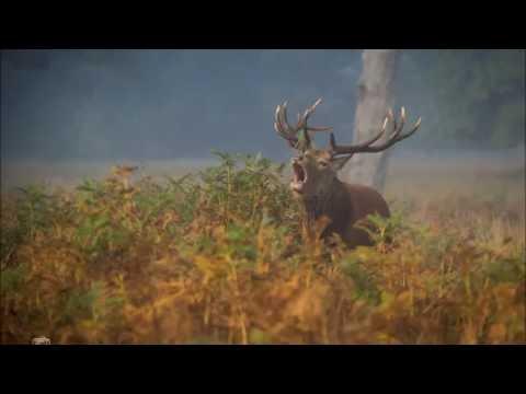 Rykowisko   jeleń byk we mgle  Richmond Park 2015