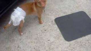 My poor dog in a diaper :( FUNNY!!