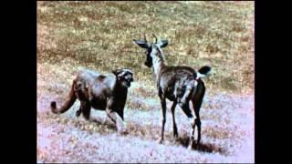 rare vintage footage mountain lion attacks deer