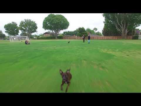 Min Pin/Italian Greyhound vs. drone! 30MPH!