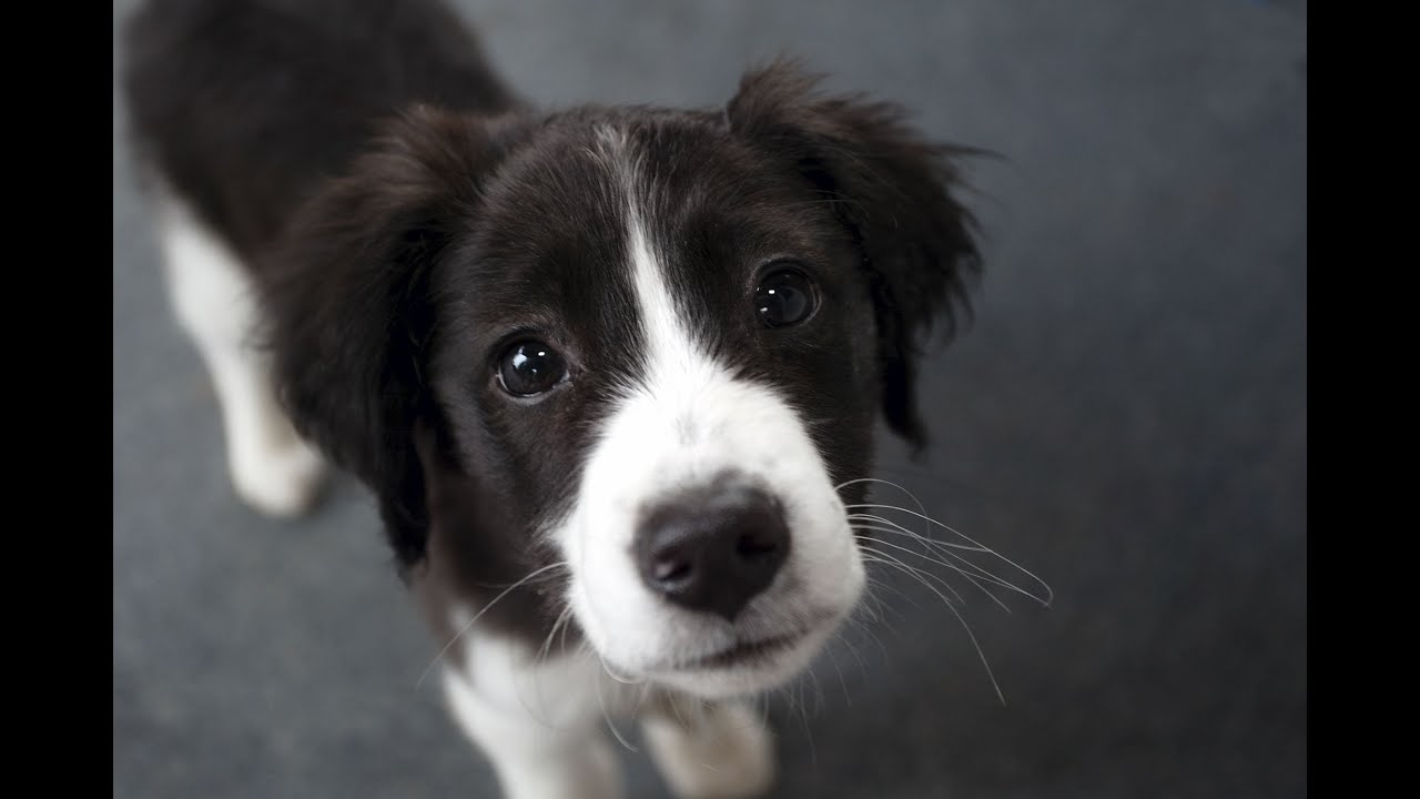 Cute Boarder Collie Puppy - YouTube