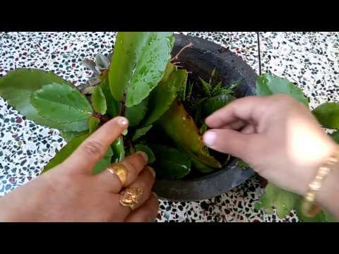213-How to grow PATHARCHATTA/Kidney Stone Herbal Medicine/Bryophyllum Pinnatum(Hindi/Urdu)14/11/16