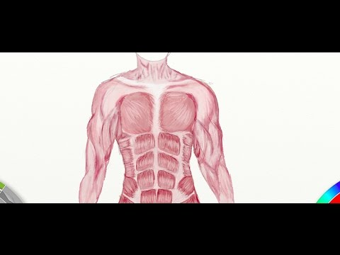 muscular system project