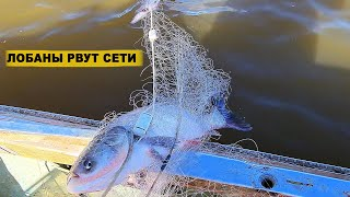 РЫБАЛКА НА СЕТИ ОГРОМНЫЙ ТОЛСТОЛОБИК РВЁТ СЕТИ Рыбалка на реке Амур ENG SUB