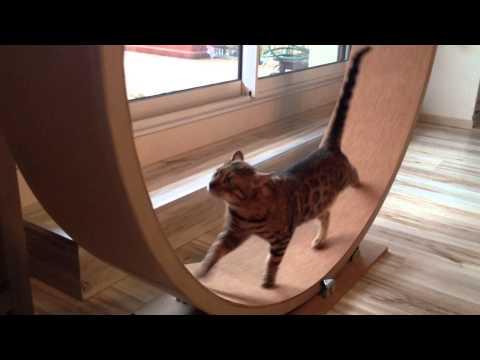 Thumbnail for Cat Video Bengal Cat Wheel