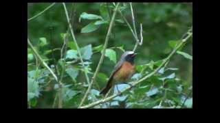 De gekraagde roodstaart, Common redstart, Phoenicurus phoenicurus