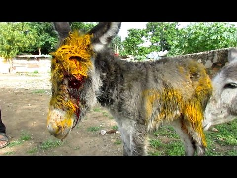 Injured baby donkey rescued; watch her mama