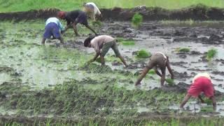 Paddy Crop Cultivation_ Kharif crop-001