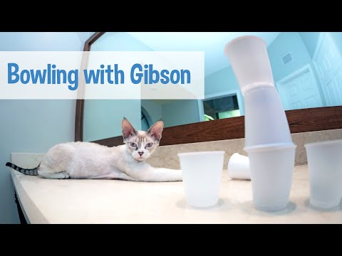 Funny Devon Rex kitten likes to knock things over - original music