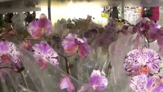 22.Иммиграция Канада. За орхидеей в мебельный магазин.(Как мы покупали орхидею в мебельном магазине., 2014-01-09T01:28:53.000Z)
