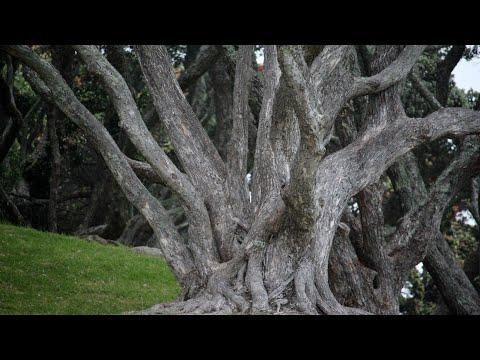 Вопрос: У какого из этих фруктовых деревьев древесина – чёрное дерево см?