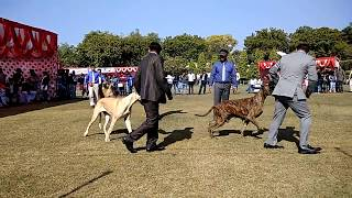 This is real Show Quality GREAT DANE  Don't miss must watch for quality lovers only...