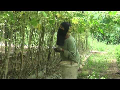 เกษตรพอเพียง ปลูกป้องแป้ง บวบงู โง้งิ้ว กะดิง บ้านท่าโพธิ์ ตำบลท่ากระเสริม อำเภอน้ำพอง ขอนแก่น