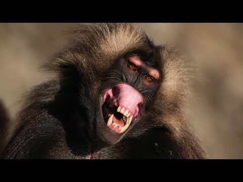 Wildlife Photography | Gelada Baboons in Ethiopia