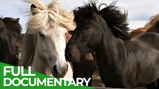 Iceland - Home of Europe's Strongest Horses   Free Documentary Nature