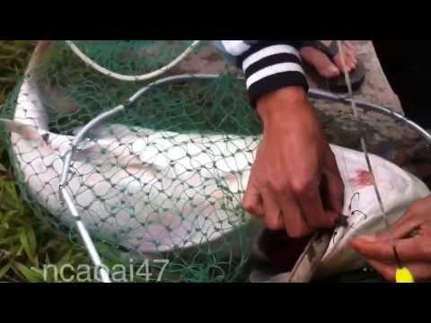 Fishing - Silver Carp Fishing - Câu Lục - Câu cá Mè to - Cá Mè Kho Riềng