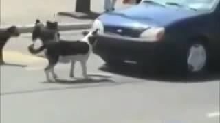 Собака поставила на место автомобилиста.(Собака, автомобиль, авария, прикол, катастрофа, водитель, женщина, права, номер, сорвала, авто, Америка, Росси..., 2016-08-09T11:32:58.000Z)