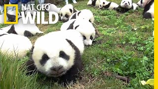 Record: 42 Pandas Born in Breeding Program This Year | Nat Geo Wild