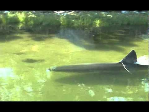 Great White Shark in Massachusetts salt pond