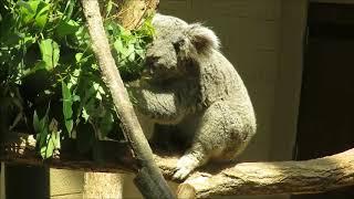 コアラの ピーター♂(2016年3月28日生まれ)が 名古屋市東山動植物園か...