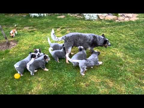 Australian Cattle Dog - Puppies 3 /Kennel Danggali/