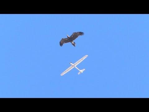 Eagle attacks RC glider