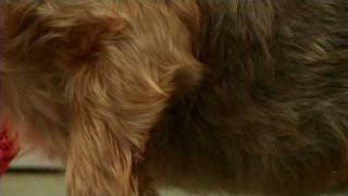 Dog Grooming : How To Groom A Yorkshire Terrier