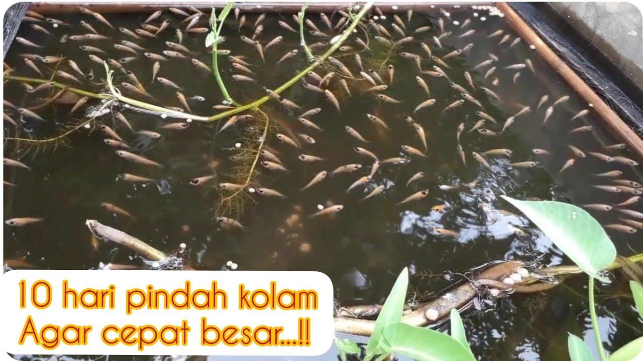 Cara budidaya ikan nila di kolam beton (pindah kolam ...