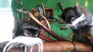 Crazy Tamarins at SF Zoo
