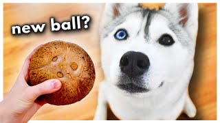 Husky SMASHES Her First Coconut Open! (Does she like what's inside?)