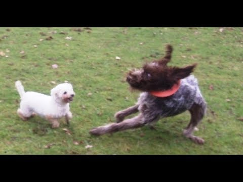 Wirehaired Pointer Snuggs gets told off by Bichon Peppa.