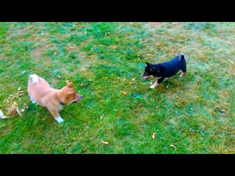 AKC Shiba Inu Puppies play time. High energy. Hunting dogs.