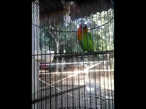 Love bird fretty om barnas depok