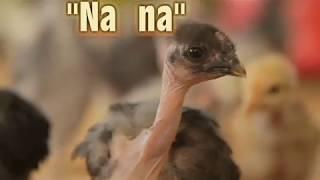 Sin cuello pollos plumas en el